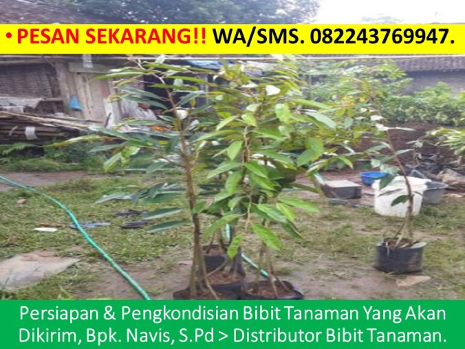 Anak Benih Durian Musang King, Cara Menanam Bibit Durian Musang King, Cara Membuat Bibit Durian Musang King, Bibit Durian Musang King Di