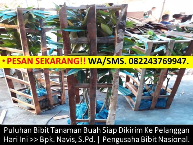 Benih Durian Musang King, Bibit Durian Musang King, Biji Durian Musang King, Anak Benih Durian Musang King, Cara Menanam Bibit Durian Mu