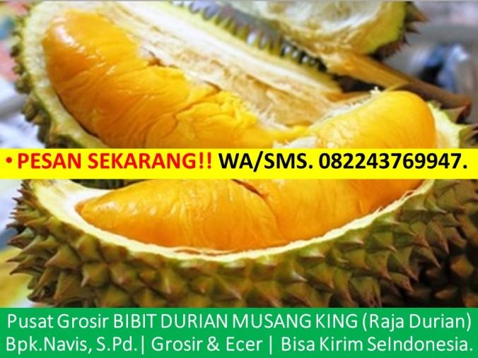 Benih Pokok Durian Musang King, Bibit Durian Musang King Jogja, Jual Bibit Durian Musang King, Harga Anak Benih Durian Musan