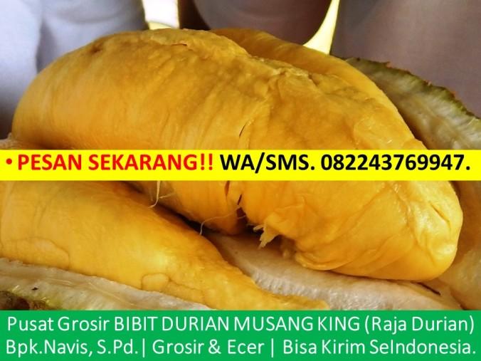 Bibit Durian Musang King Asli, Jual Benih Durian Musang King, Benih Pokok Durian Musang King, Bibit Durian Musang King Jogja