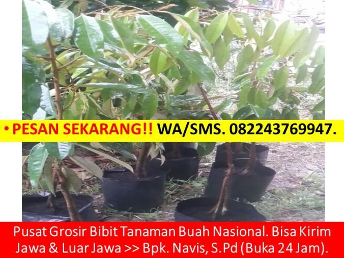 Bibit Durian Musang King, Bibit Durian Musang King Asli, Jual Benih Durian Musang King, Benih Pokok Durian Musang King, Bibit Du