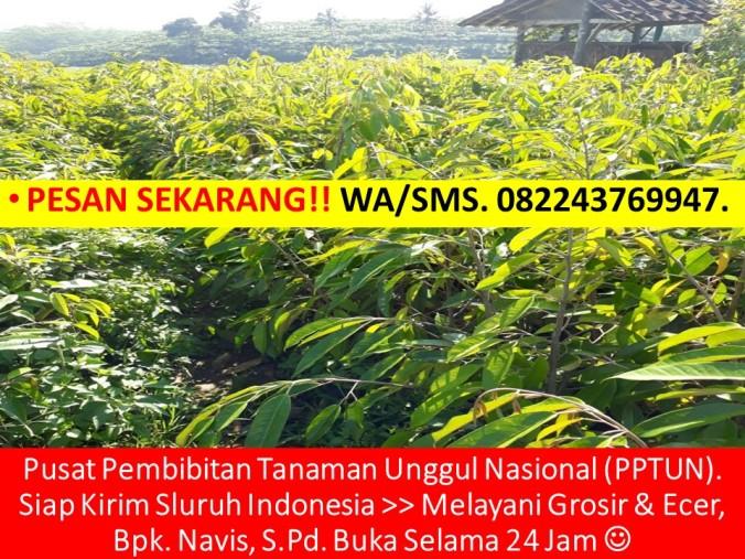 Bibit Durian Musang King Sabah, Bibit Durian Musang King Semarang, Bibit Durian Musang King,