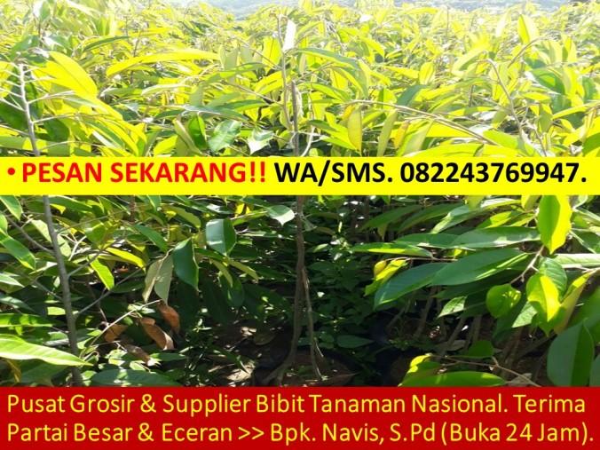 Bibit Durian Musang King Semarang, Bibit Durian Musang King, Bibit Durian Musang King Asli, Jual Benih Durian Musang King, Benih Pokok D