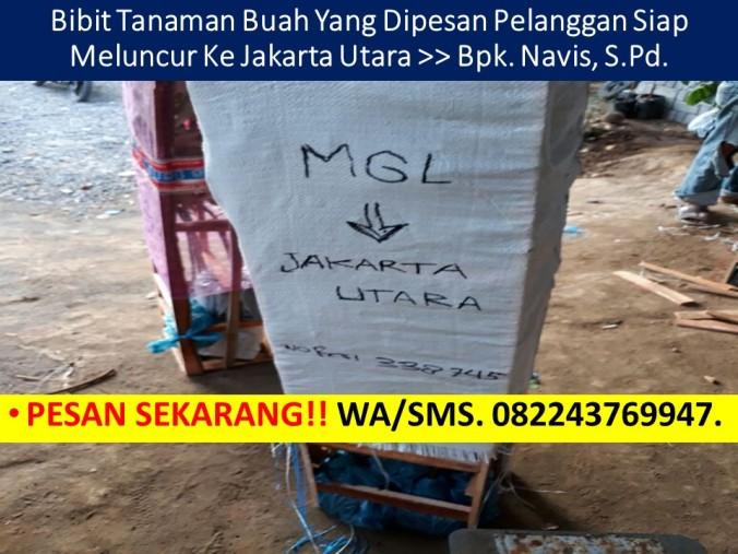 Bibit Durian Musang King Siap Buah, Ciri Bibit Durian Musang King, Cari Bibit Durian Musang King, Bibit Durian Musang King Kaki Tiga, Bi
