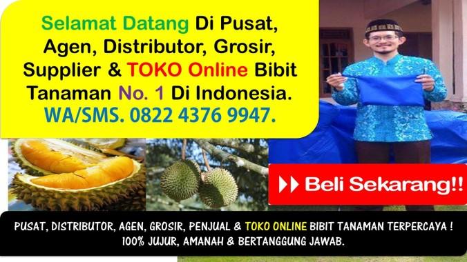 Biji Benih Durian Musang King, Bibit Buah Durian Musang King, Bibit Durian Musang King Siap Buah, Ciri Bibit Durian Musang King, Cari Bi