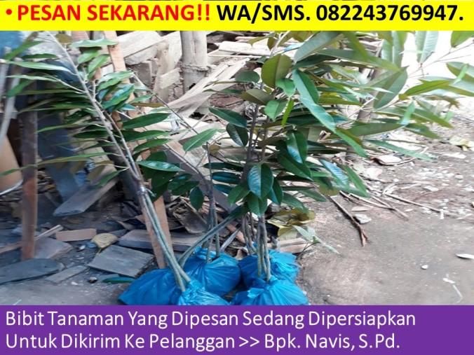 Jual Benih Durian Musang King, Benih Pokok Durian Musang King, Bibit Durian Musang King Jogja, Jual Bibit Durian Musang King.