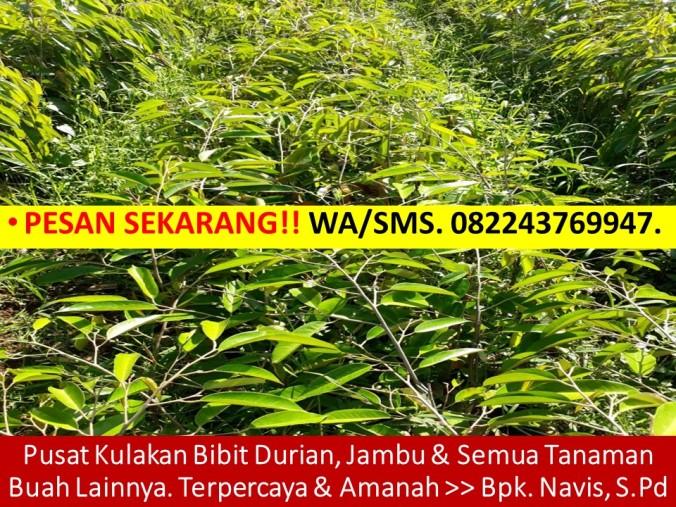 Jual Bibit Durian Musang King, Harga Anak Benih Durian Musang King, Jual Bibit Durian Musang King Jakarta, Jual Bibit Durian Musang King